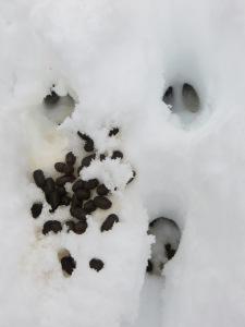 Fresh Deer Scat (Bruce Trail, Orangeville, December 2014)