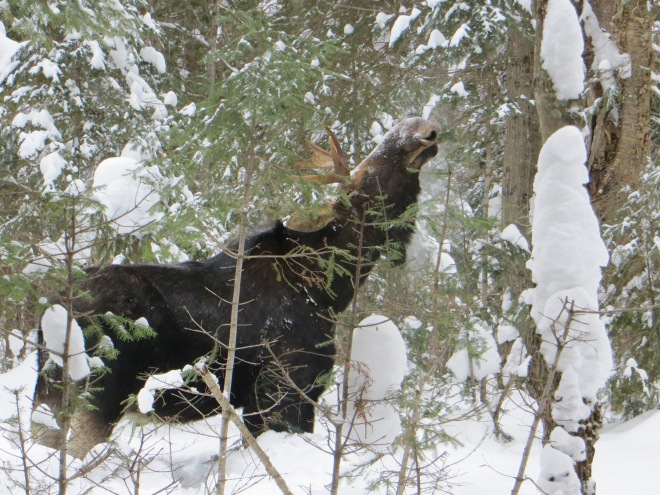 Moose Browsing (Algonquin Park, February 2015)