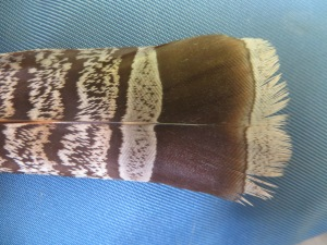 Tip of Grouse Feather (Algonquin Park, August 2014)